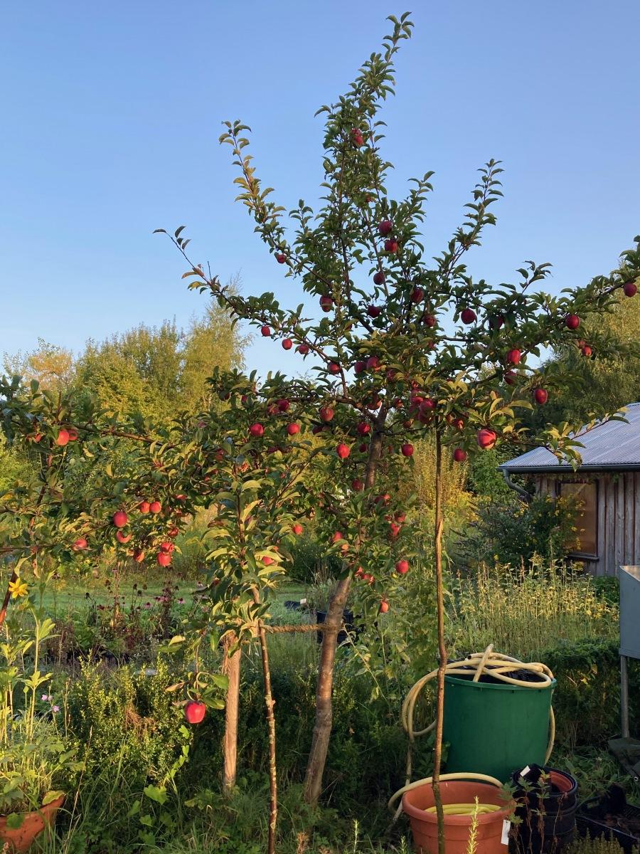 Apfelbaum1
