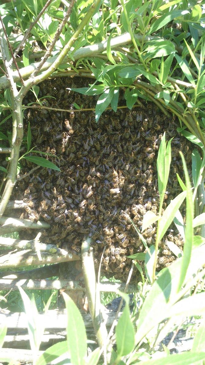 Bienenschwarm-am-Weidenzaun-Teich-rotated-1