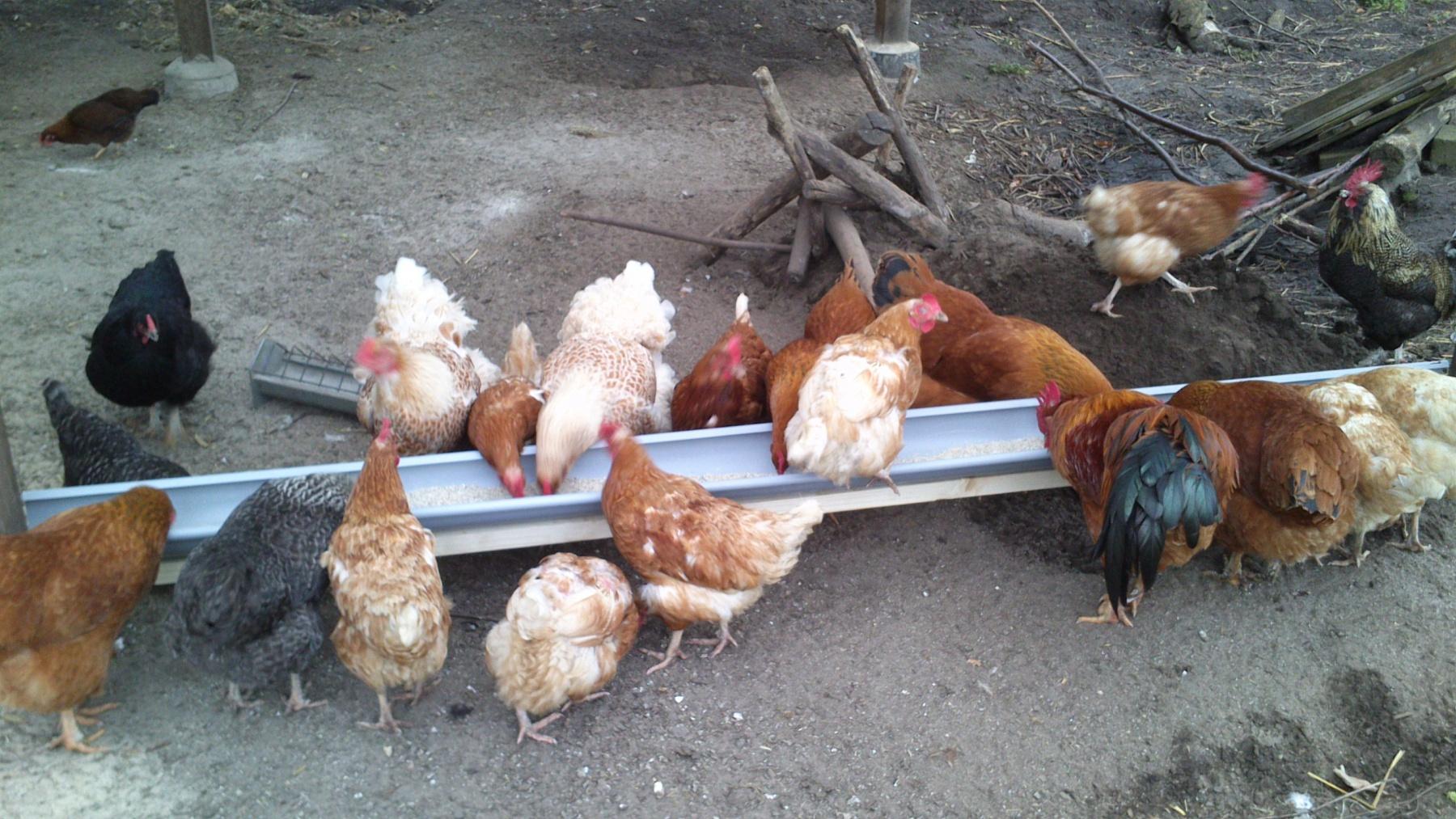Hühner-an-der-Futterrinne